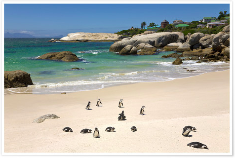 South Africa Boulders Beach penguins Posterlounge